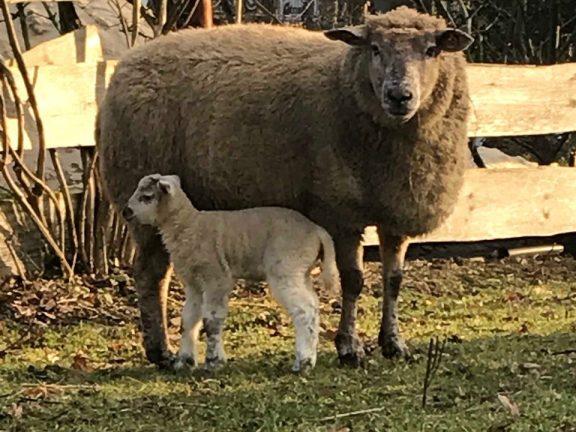 Die Geburt des ersten Lamms in 2019
